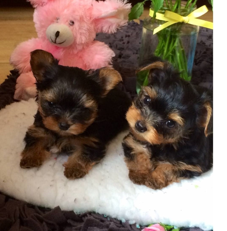charming teacup yorkie puppies to loving homes