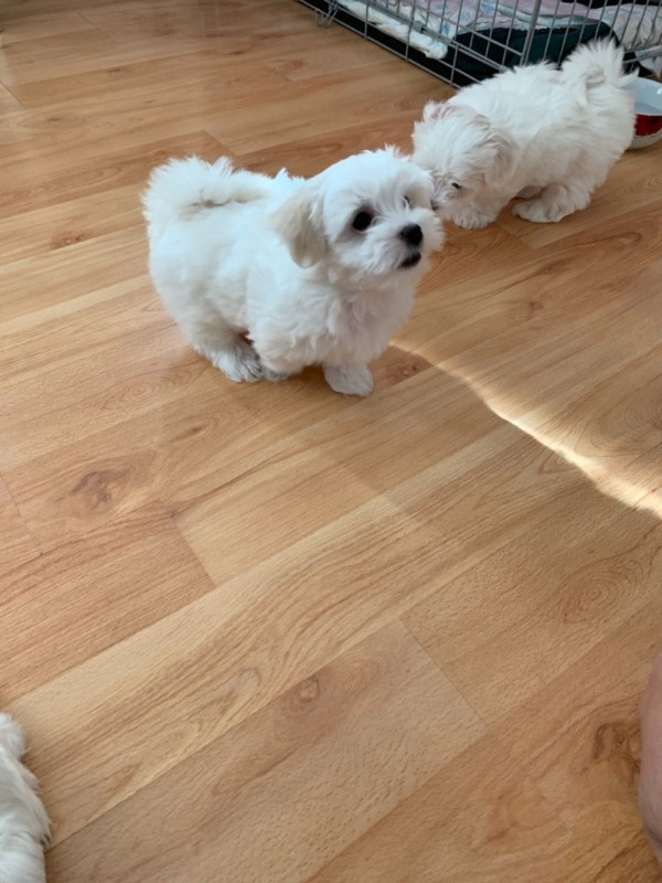 Excellent Maltese puppies available for sale