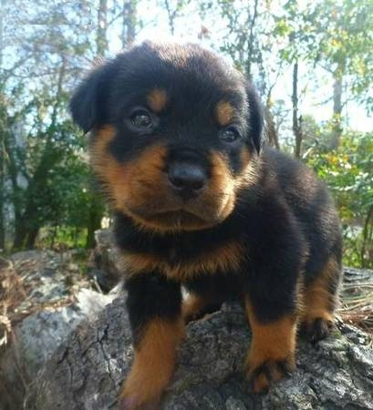 Idaho German Rottweiler Puppies Available Ready To Go Pets And